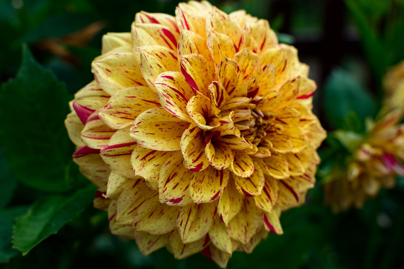 chrysanthemum flower culture