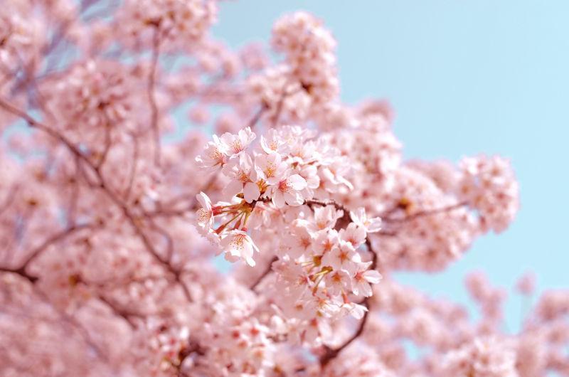 wildlife-cherry-blossom