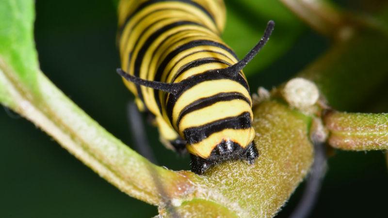 wildlife garden caterpillar