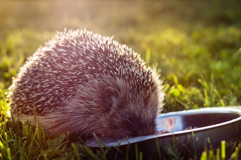 wildlife hedgehog bowl