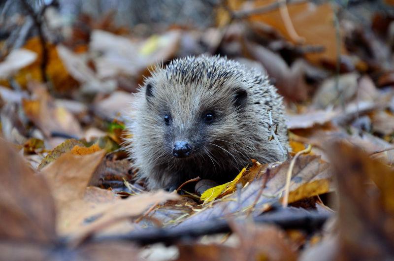 wildlife hedgehog in garden